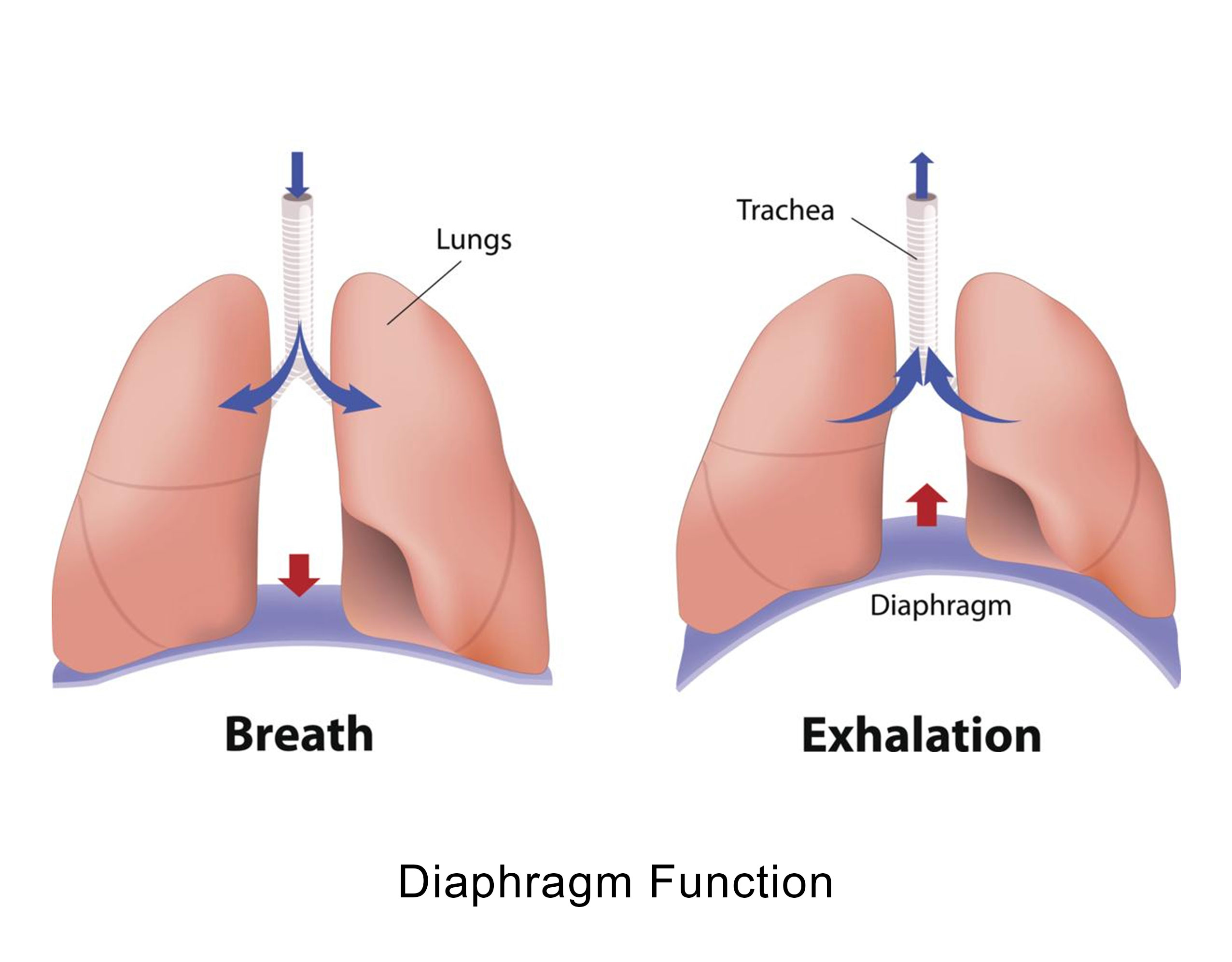 Diaphragm Function
