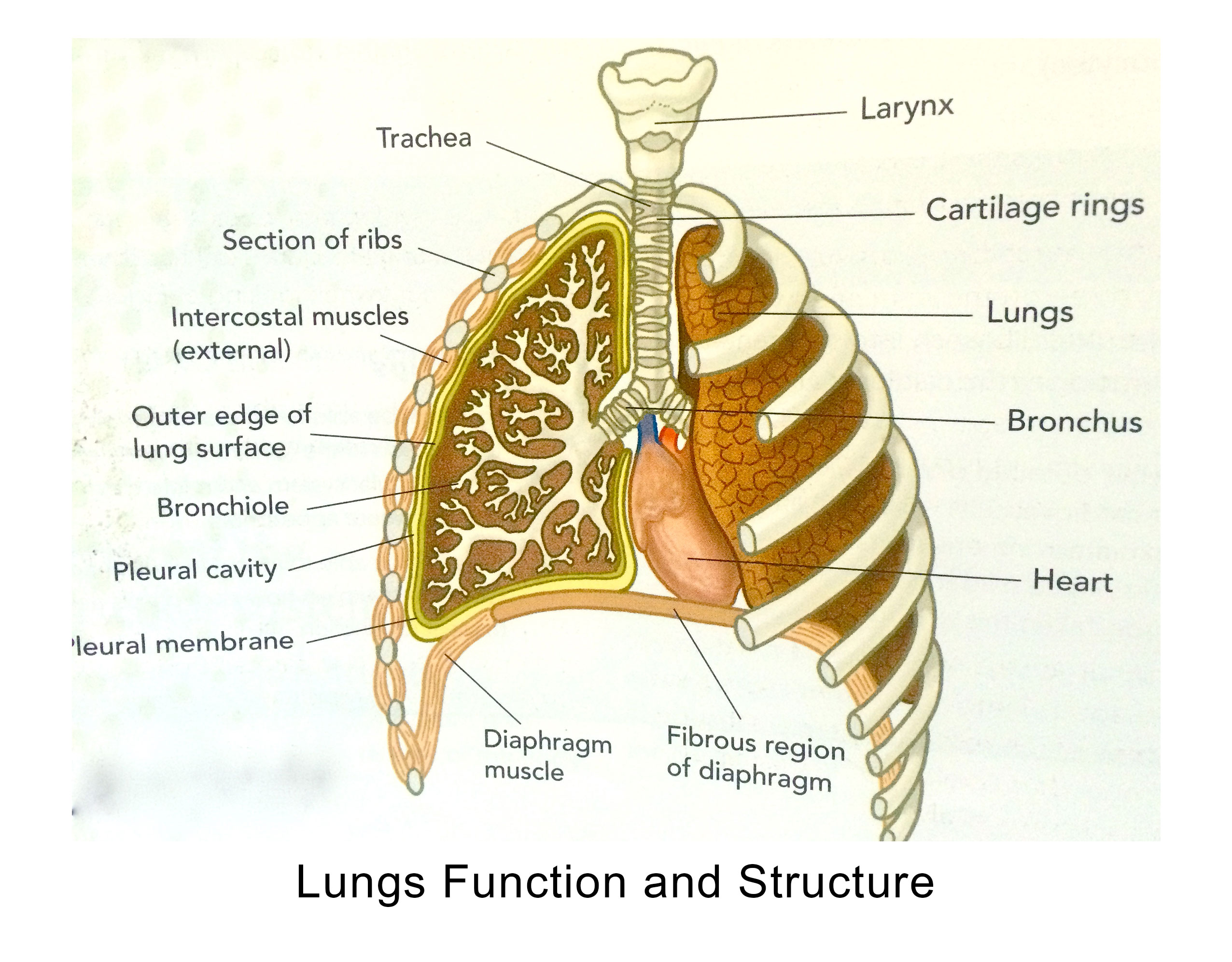 Lungs Function and Structure
