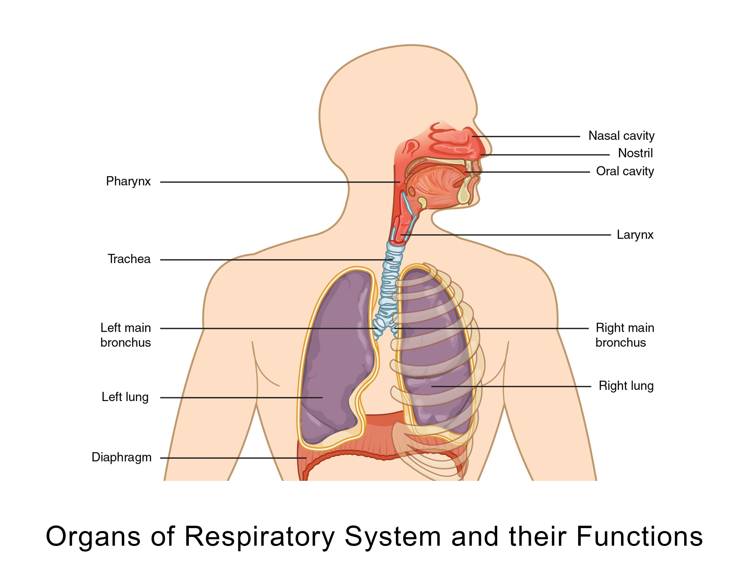 Organs of Respiratory System and their Functions 1