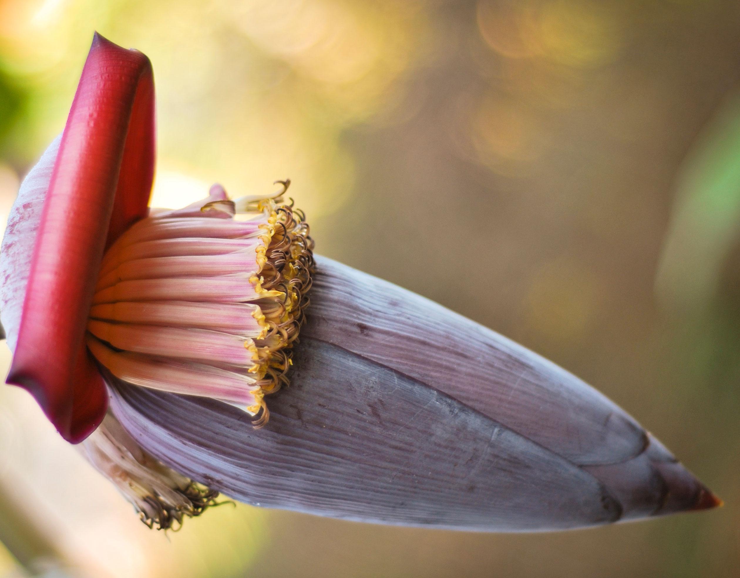 Plantain Flower Benefits