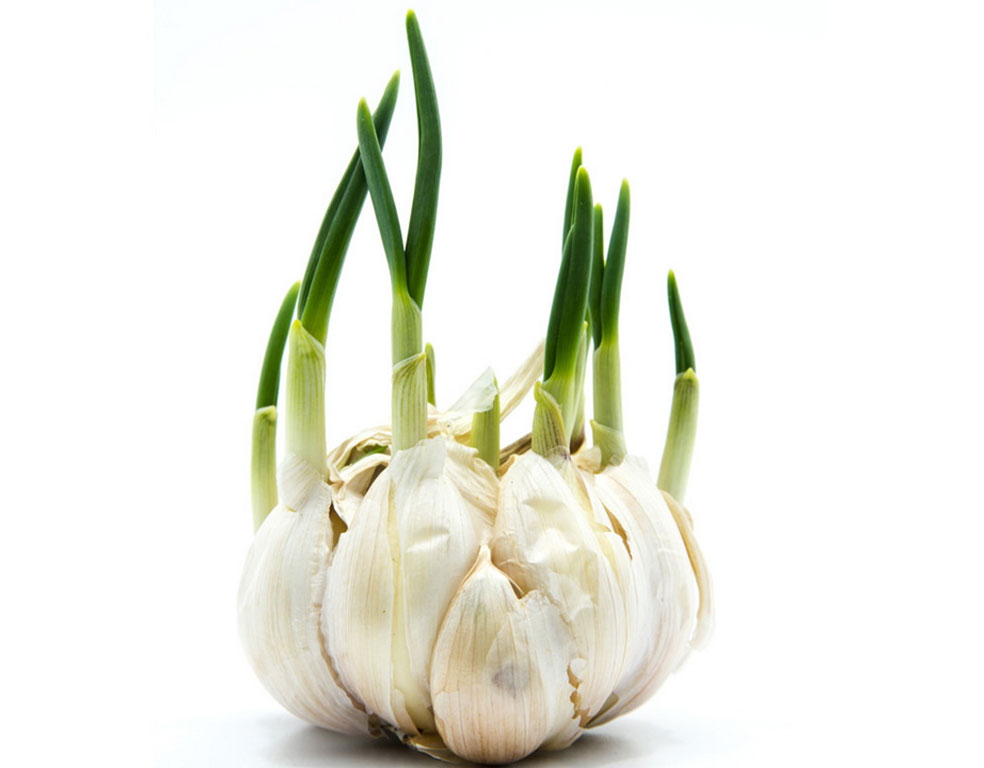 Sprouted garlic health benefits