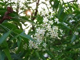 neem flower benefits in tamil