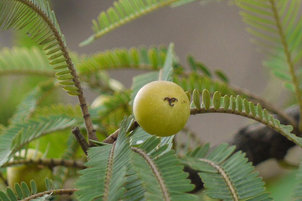 nelli fruit benefits in tamil