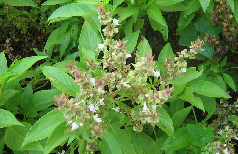 thiruneetru pachilai benefits in tamil