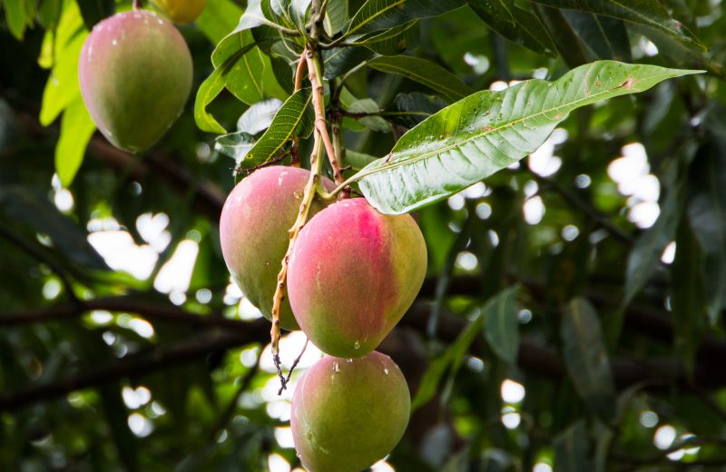 mango leaves benefits in Tamil