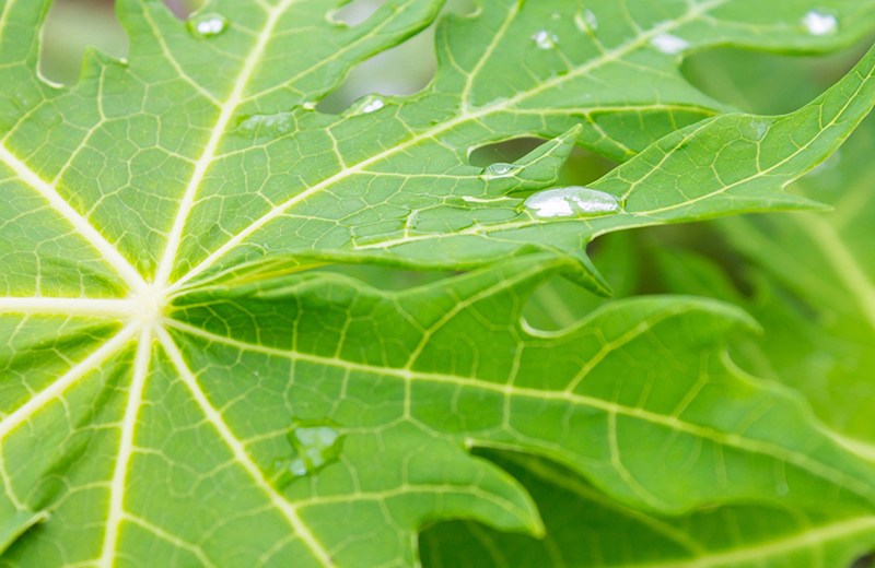 Papaya leaf benefits in Tamil